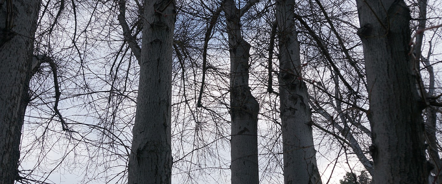 A view of tree trunks with the sky behind them.