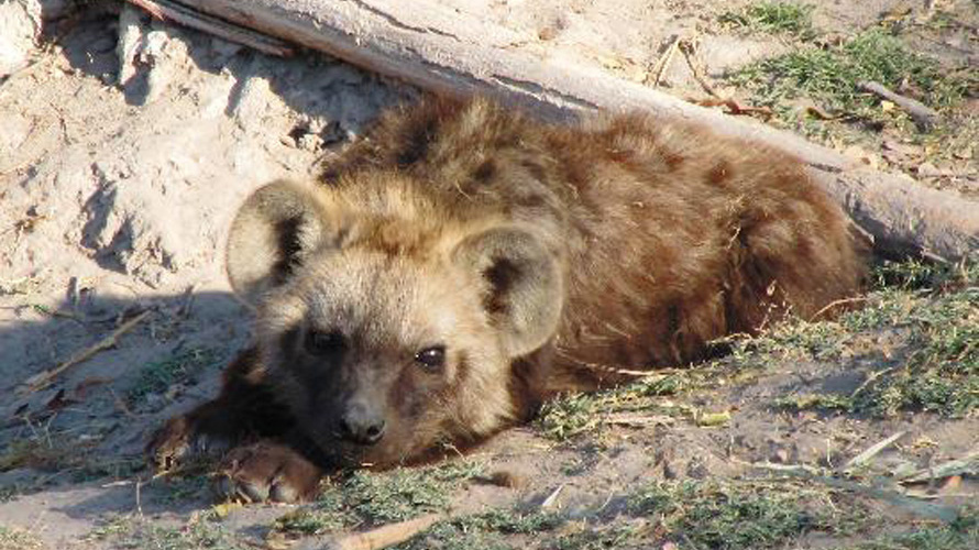 A hyena cub lies down.