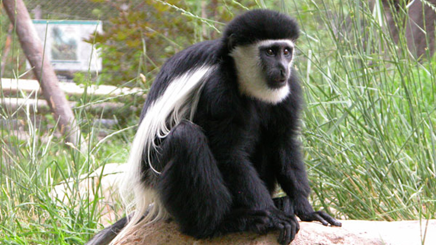 A black and white monkey sits on a rock.