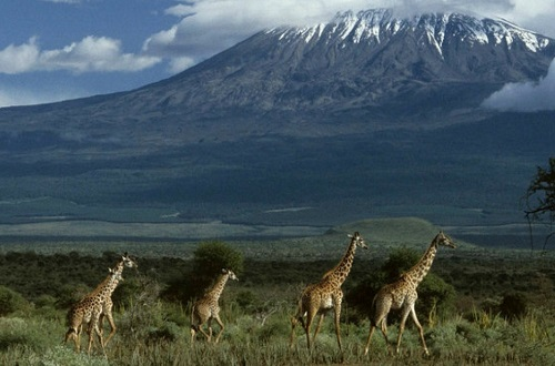 Giraffes walk in front of a mountain.