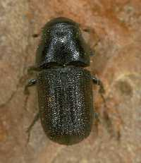 Photo of pine beetle.