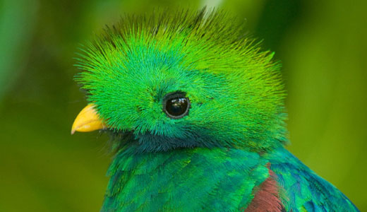 A quetzal - a bird that lives in cloud forest trees Photo Credit: Drew Fulton (Canopy in the Clouds)