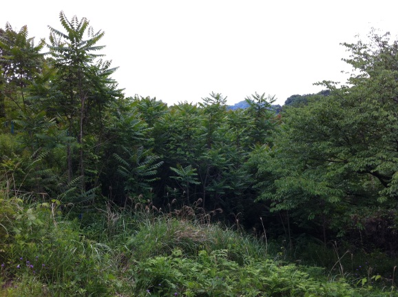 Natural regeneration of tree-of-heaven with plenty of light exposure on an experimental forest in Kyushu, Japan