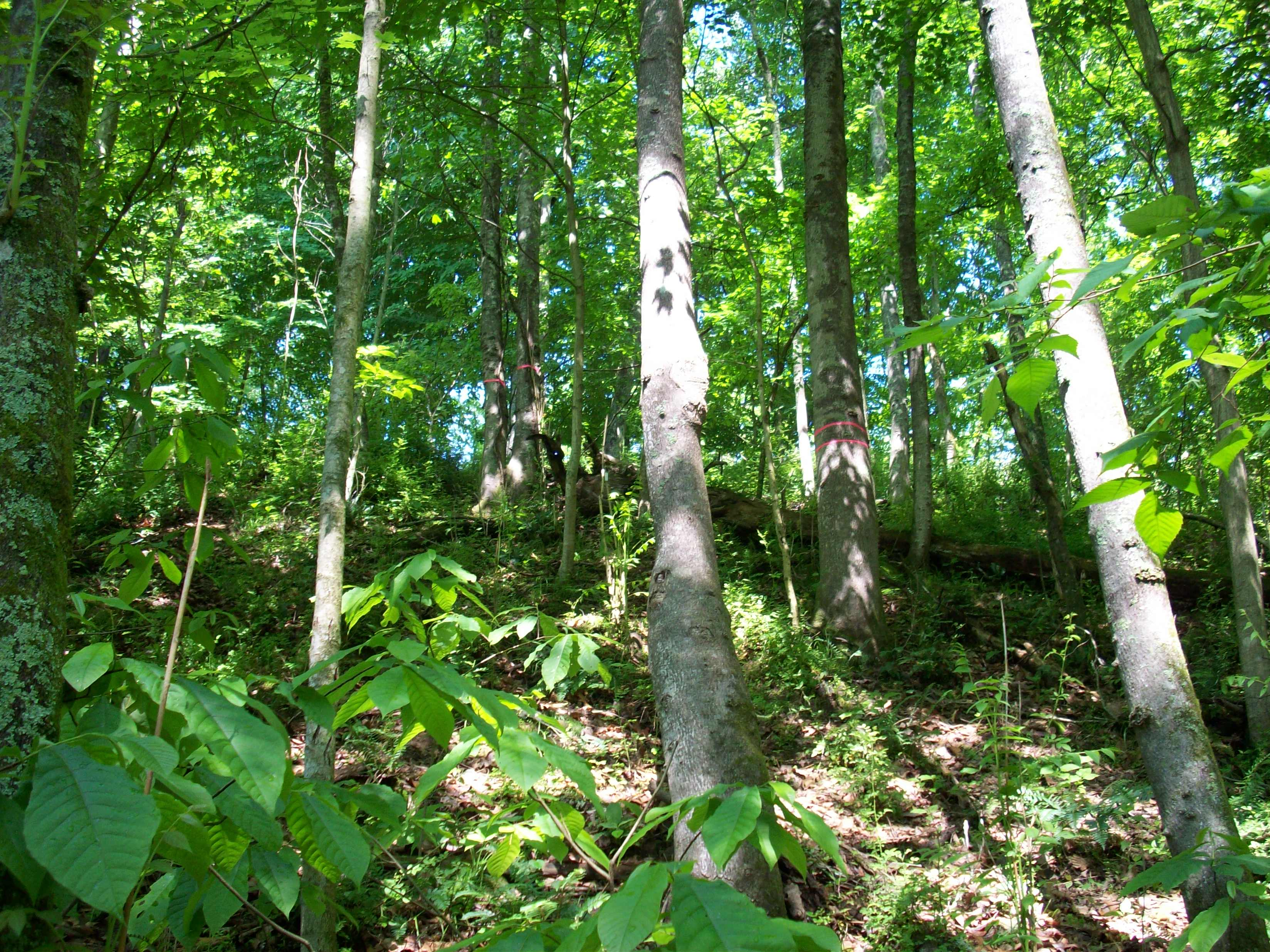 A pure stand of tree-of-heaven in a natural forest in West Virginia